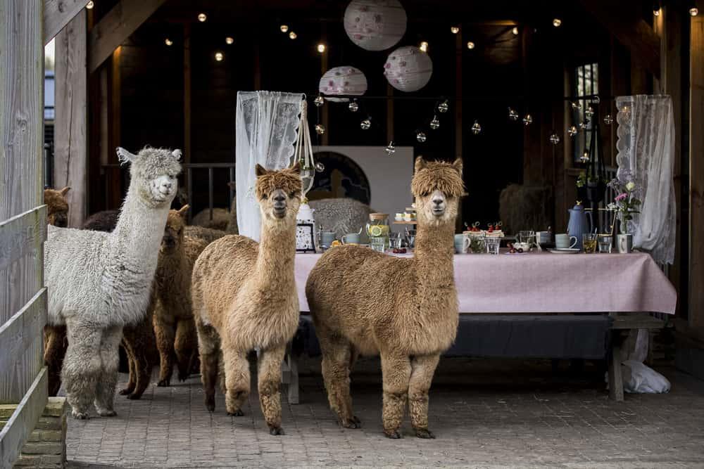 Alpacahoeve De Drie Provincien High tea reserveren