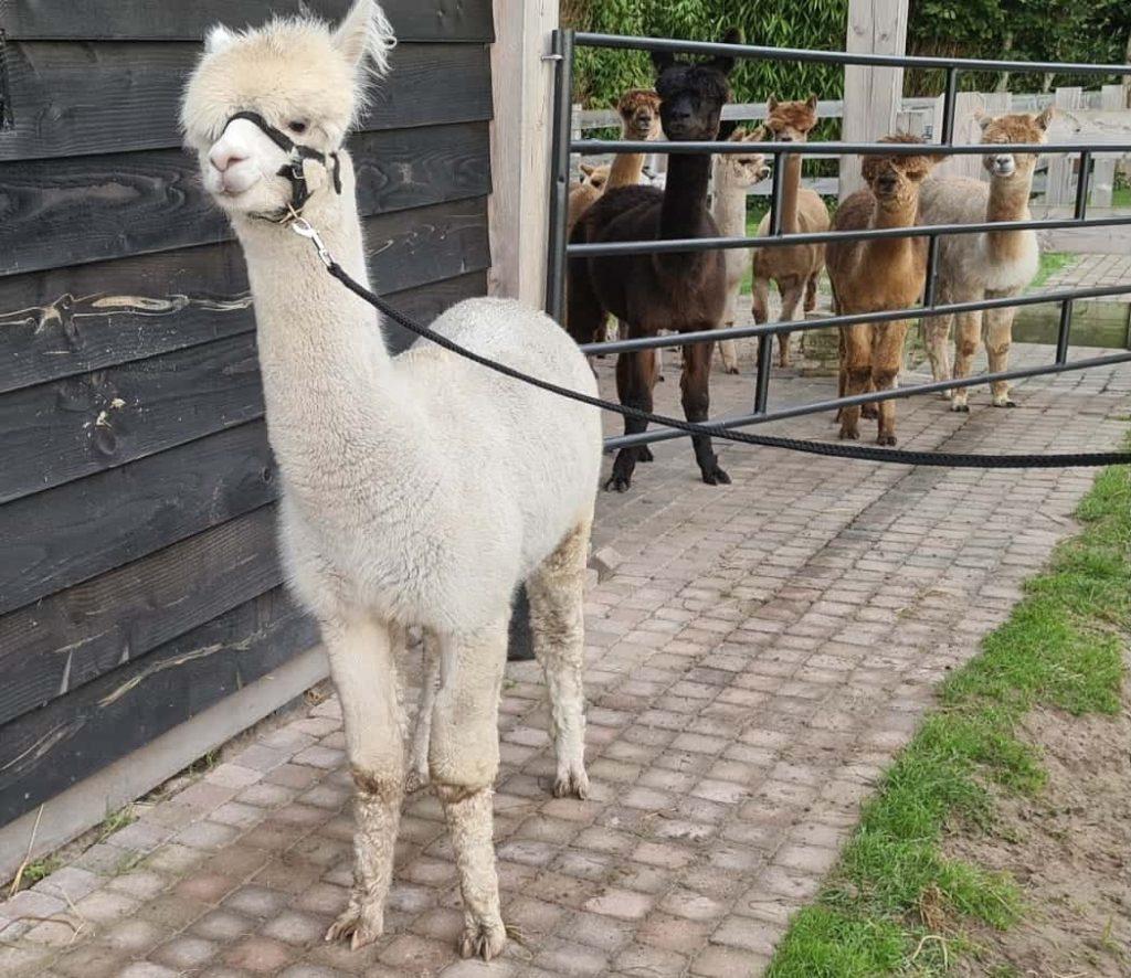 Floris - Alpaca Hoeve De Drie Provinciën 3